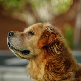 Golden wit bokeh by Cristobal Garciaferro Rubio - Animals - Dogs Portraits ( bokeh, portrait, golden, golden retriever )