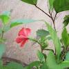 Jasvand (Hibiscus)