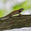Yucatan Spiny Lizard