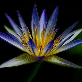 Water Lily by Nikola Vlahov - Flowers Single Flower ( showy, blue, petals, water lily, close up, flower )