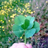 Trebol (5 hojas)