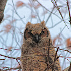 Great-Horned Owl (fledgling)