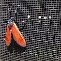 Spotted Oleander Moth