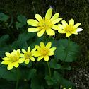 Fleur de ficaire fausse-renoncule