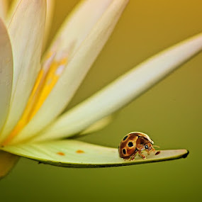 by Hindra Komara - Animals Insects & Spiders ( macro photography )
