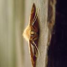 unknown geometer moth