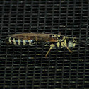 Tiphiid wasp