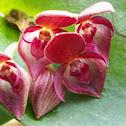 Orquidea Pleurothallis