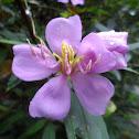 Senduduk / Singapore rhododendron