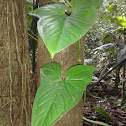 Philodendron sp.??