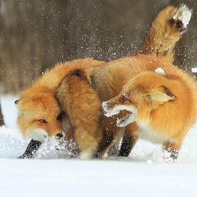 by Jocelyn Rastel-Lafond - Animals Other Mammals ( quebec, fox, renard roux, renard, red fox,  )