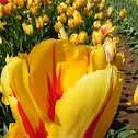 Tulips- Different types