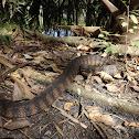 Florida Banded Watersnake