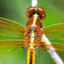 Dragonfly Mites