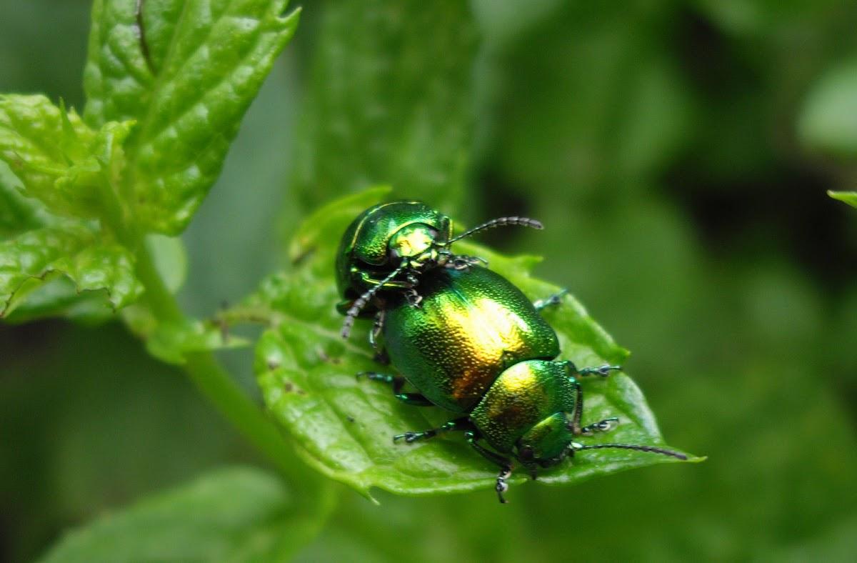 (Golden) Leaf beetle mating