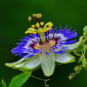 by Nikša Šapro - Flowers Single Flower (  )