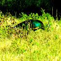 Green Peafowl/Java Peafowl/Merak Hijau