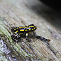 Yellow Striped Poison Frog