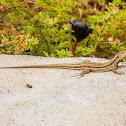 La Palma lizard
