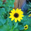 East Coast Dune Sunflower