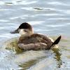 ruddy duck(Winter Plumage)