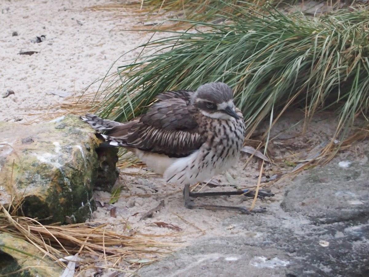 bush-stone burlew / bush thick-knee