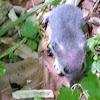 Mouse sp?