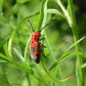 Blackened Milkweed Beetle