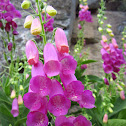 Spanish Digitalis