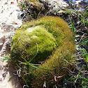 Carrion moss