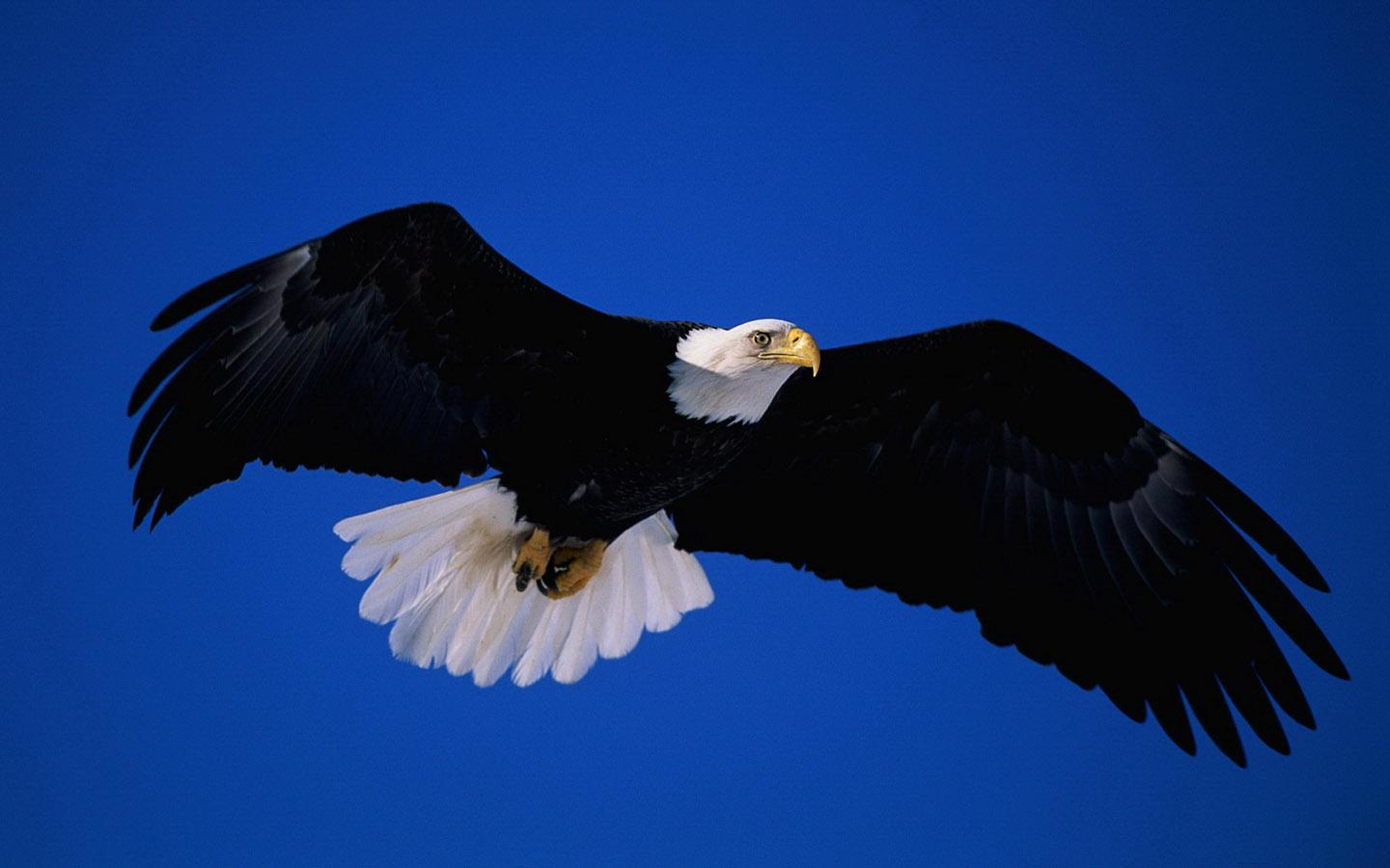 Eagle HD Wallpaper - Android Apps on Google Play