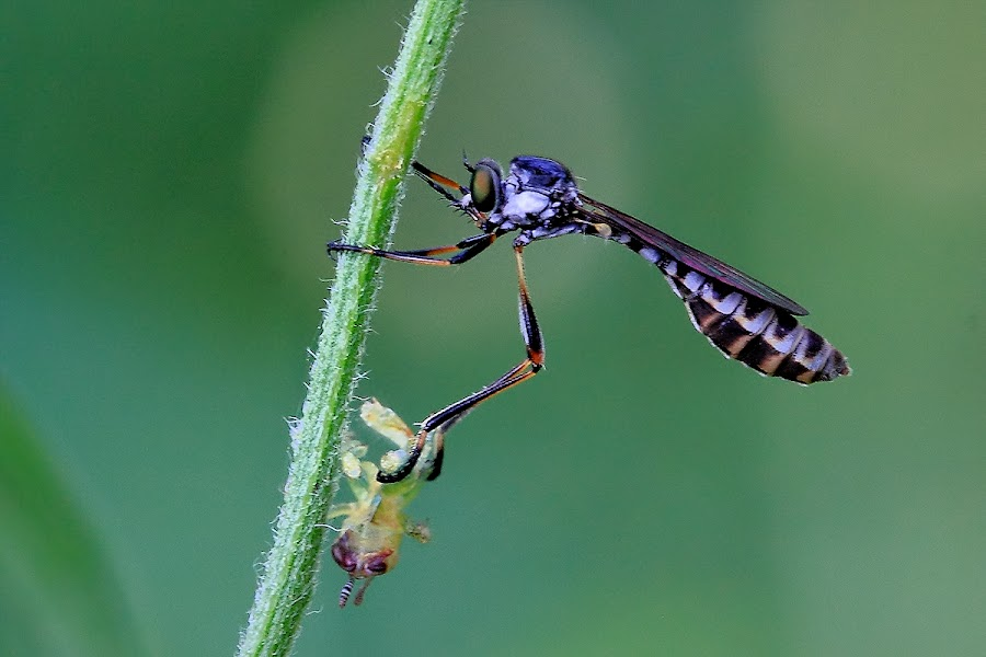 by Kuswarjono Kamal - Animals Insects & Spiders