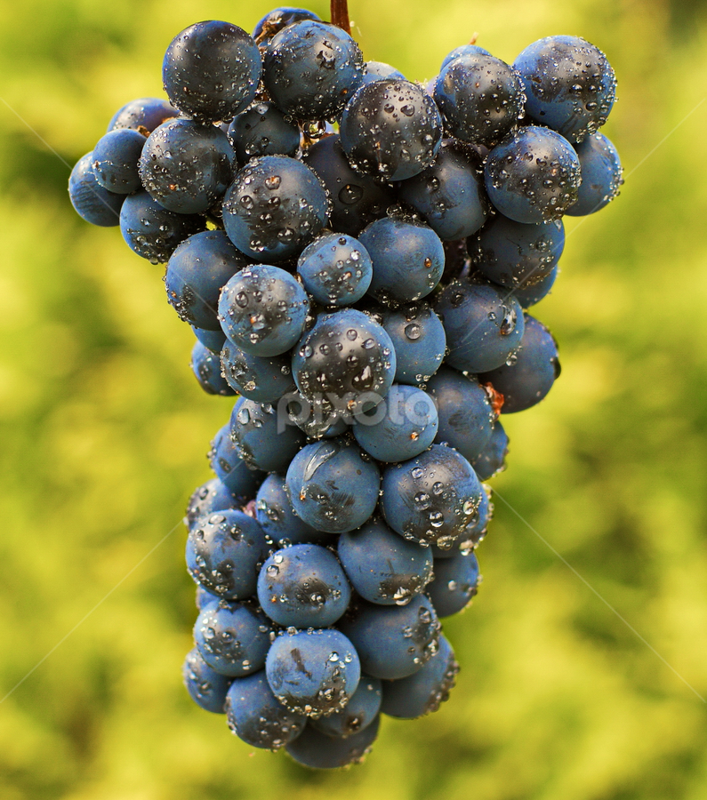 Grapes by Ad Spruijt - Nature Up Close Gardens & Produce (  )