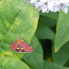 Mint Moth?