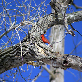 A winter cardinal by Chris Clay - Animals Birds