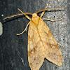 Lophocampa Moth