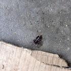 Eastern Parson Spider
