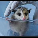 Baby Oppossum