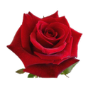Valentines Day Roses icon