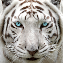 Big Cat Rescue icon