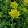 Yellow Cushing Spurge