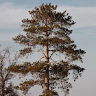 Red Pine (Norway Pine)