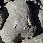 Stonefly casings