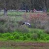 Grey Heron (Σταχτοτσικνιάς)
