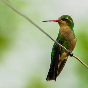 Beija-flor by Thiago Silva - Animals Birds ( bird, nature, green, small )
