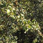 Palmer's Oak