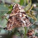 Juno Longwing butterflies mating