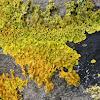 Yellow, green and orange lichen