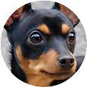 Miniature Pinscher Wallpapers icon