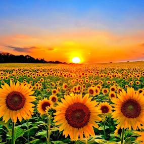 Field of Sunflowers by Bill Morris - Flowers Flower Gardens ( field, sunset, sunflowers, flowers, plantation, golden hour, sunrise,  )